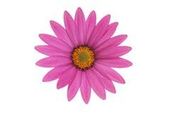 Purple osteospernum Royalty Free Stock Photography