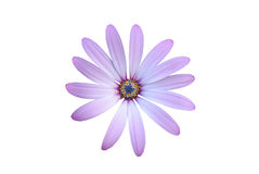 Purple osteosperumum Flower Daisy Isolated on White Background with clipping path Stock Image