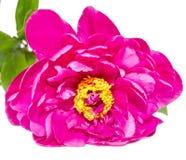 Purple Paeonia peregrina isolated Royalty Free Stock Photos
