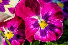 Purple pancy flower Stock Image