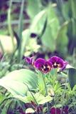 Purple pancy flowers. Stock Photo