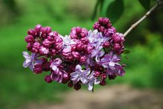 Purple panicle of lilac. Stock Images