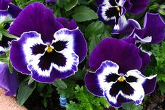 purple pansies 2 Royalty Free Stock Photography