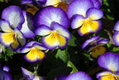 Purple pansies Royalty Free Stock Photography
