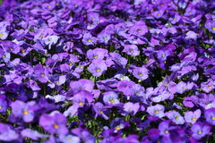 Purple Pansies. A background of purple pansies Stock Photo