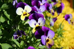 Purple pansies Stock Photo