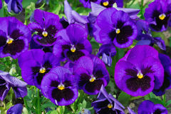 Purple pansies. On a bed closeup Royalty Free Stock Photo
