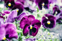 Purple pansies, blue photo filter, springtime. Purple pansies in the garden. Beauty in nature. Blue photo filter. Seasonal natural scene Stock Photos
