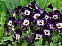 Purple pansies. A bunch o purple pansy flowers,viola tricolor Stock Image