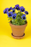 Purple Pansies in a Clay Pot Stock Photos