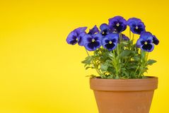 Purple Pansies in a Clay Pot Royalty Free Stock Photo