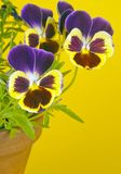 Purple Pansies in a Clay Pot Stock Photo