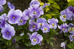 Purple Pansies. Digital and outdoor photography Royalty Free Stock Photos