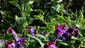 Purple pansies in garden. Purple pansies in closeup of green garden moving gently in breeze stock footage