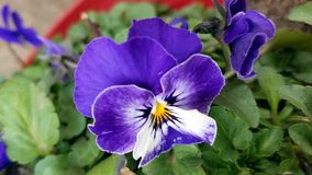 Purple Pansies. Growing in the Spring Royalty Free Stock Photo