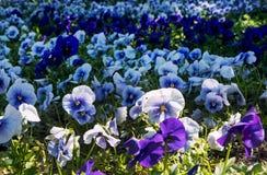 Purple pansies Stock Photography