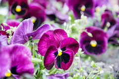 Purple pansies, photo filter, springtime. Purple pansies in the garden. Beauty in nature. Seasonal natural scene Royalty Free Stock Photo