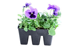 Purple Pansies. Purple potted Pansies isolated over a white background with clipping path Stock Photos