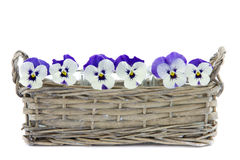 Purple pansies in a reed basket Stock Image