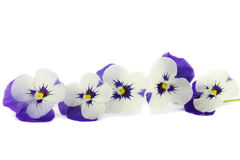 Purple pansies in a reed basket. Isolated on white stock photos