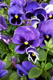 Purple pansies. In the sun after rain Stock Photo