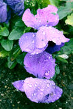 Purple Pansies with Water Drops Royalty Free Stock Photography