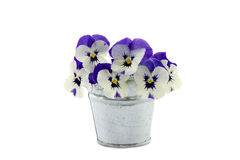 Purple pansies in a zinc bucket Stock Images