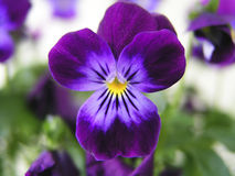 Purple Pansy. With yellow pollen royalty free stock photos