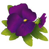 Purple Pansy & Bud. Purple pansy and bud on a white background. EPS8 compatible Stock Images