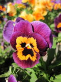 Purple pansy Stock Photo