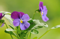 Purple pansy flower Royalty Free Stock Photo