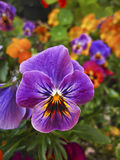 Purple pansy flower with beautiful brilliant pattern in garden. Purple pansy flower in foreground with vibrant multi colored mix in the background stock images