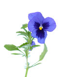 Purple pansy flower Royalty Free Stock Image