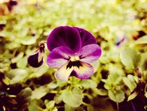 purple Pansy flower close-up. Royalty Free Stock Image