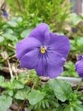 Purple Pansy Flower in Hanging Basket Royalty Free Stock Image