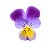 Purple pansy Stock Photography