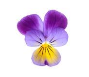 Purple pansy Stock Photography
