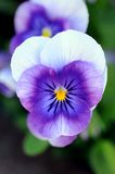 Purple pansy flower Stock Photography