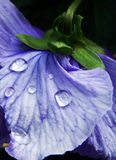 Purple pansy flower with water drops. Closeup of a delicate purple pansy flower with water drops after raining. Photo take in some garden in Portugal Royalty Free Stock Image
