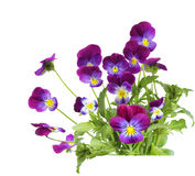 Purple Pansy flowers Stock Images