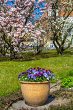 Purple pansy flowers in the big flowerpot and magnolia blossom Stock Image