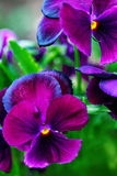 Purple pansy flowers Stock Photography