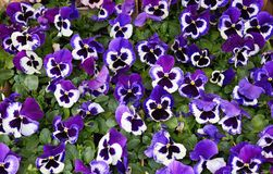 Purple Pansy Flowers. Close-Up Of Purple Pansy Flowers Blooming Outdoors Stock Photos