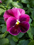 Purple pansy. Flowers on display in the greenhouses at Elizabeth park in Hartford, CT Stock Photos