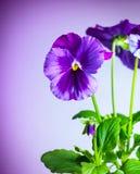 Purple pansy flowers Royalty Free Stock Image