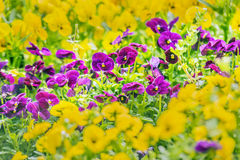 Purple pansy flowers Royalty Free Stock Photography