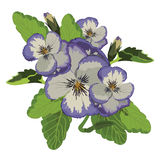 Purple Pansy Flowers Vector Stock Photo