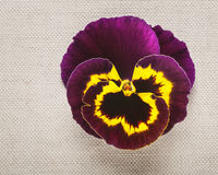 Purple pansy Royalty Free Stock Photography