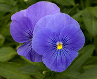Purple Pansy Macro Flower Stock Images