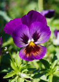 Purple pansy Stock Image